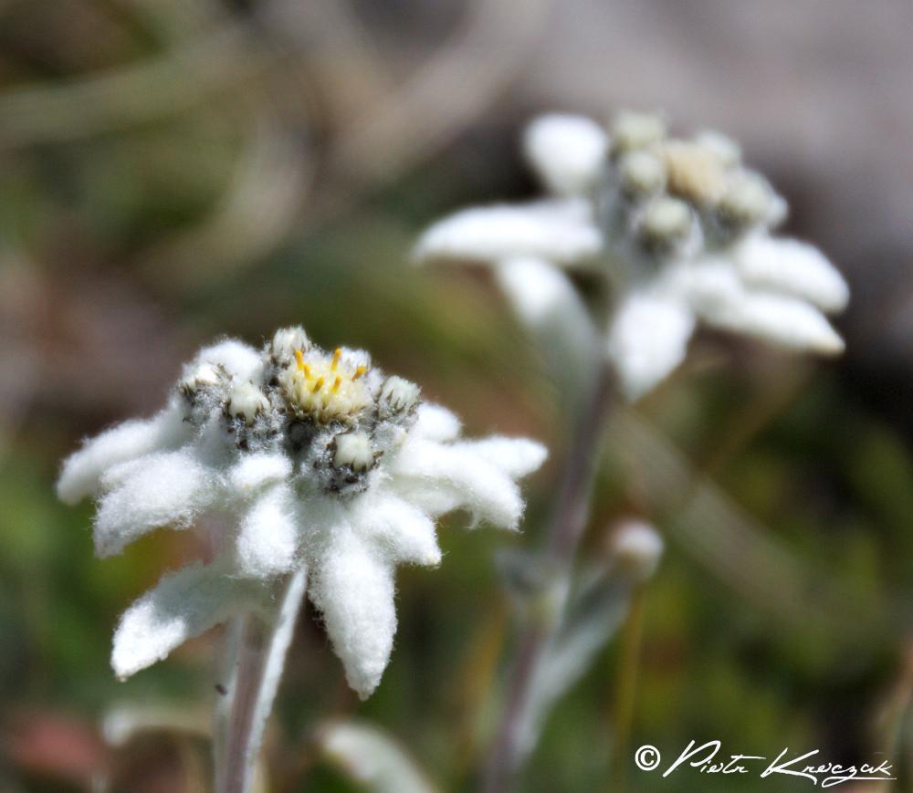 Edelweiss, reine des Alpes