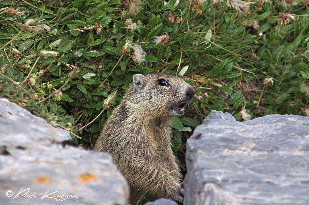 Marmotte observée à 2m de distance après 40min d'observation. Nous nous sommes rapprochés de la tanière discrètement et nous avons attendu
